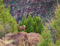 Baby Big Horn Sheep print