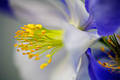 Columbine Closeup print