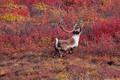 A Caribou strolls through the tundra print