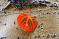 Lone Aspen Leaf print