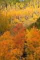 Multiple colors of aspen trees print