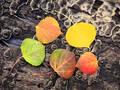 Aspen Leaves print