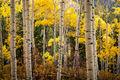 Aspen Trees 2, Last Dollar Road print