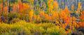 Colorful Aspens print