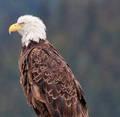 The majestic Eagle print