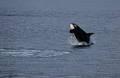 Breeching Orca Whale print