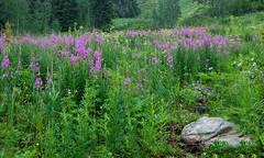 Colorado, wildflowers