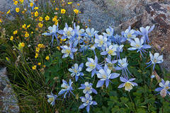 Columbines near Lake Emma