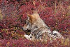 A wolf relaxes in the tundra