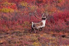 A Caribou strolls through the tundra