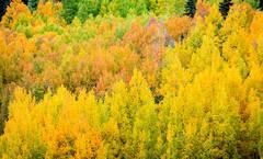 Colorful Aspens