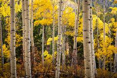 Aspen Trees 2, Last Dollar Road