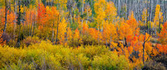 Colorful Aspens