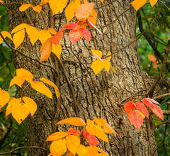 Fall Colors wrap around a tree