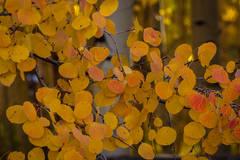 Aspen Leaves 2