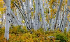 Aspen Grove 4