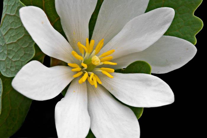 arkansas, wildflowers, spring, photo