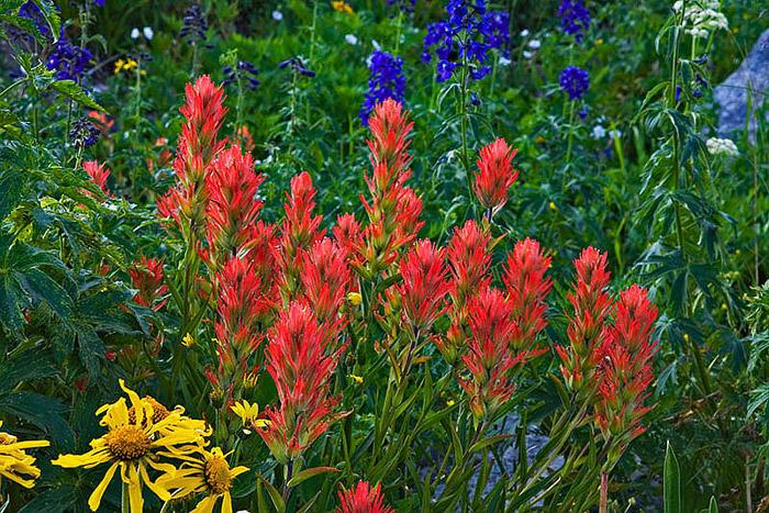 colorado, summer, orange, wildflowers, photo