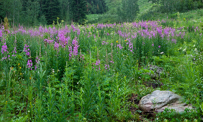 Colorado, wildflowers, photo