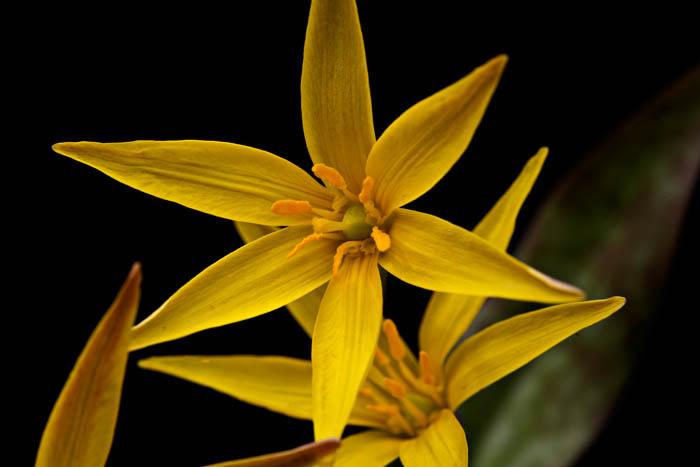 arkansas, wildflowers, spring