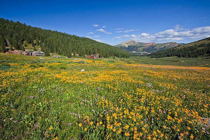 colorado, summer, wildflower, photo