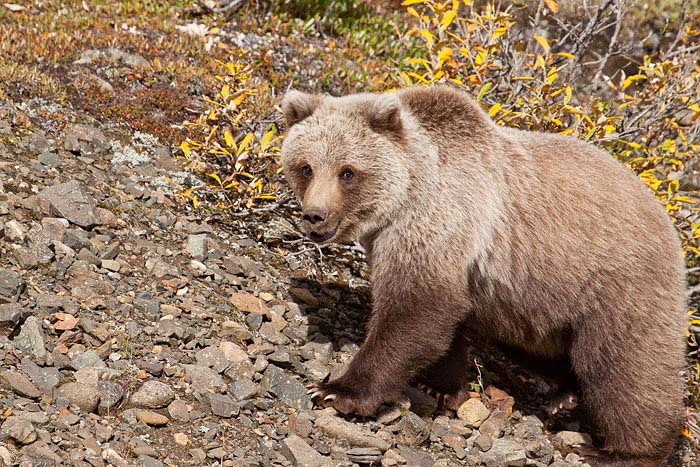 We were protected by our bus as this mama grizzly strolled by with her two cubs.