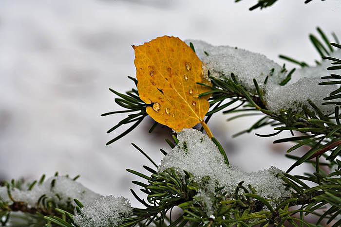 An early spring snowstorm dumped on the rockies in mid Septmeber 2006 catching this aspen leaf in the grips of the snow and pine...