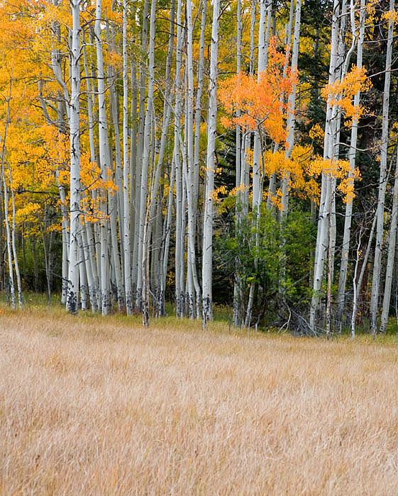 Aspen grove near Monarch Pass, Colorado