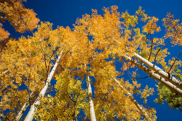 Fall Aspens, photo