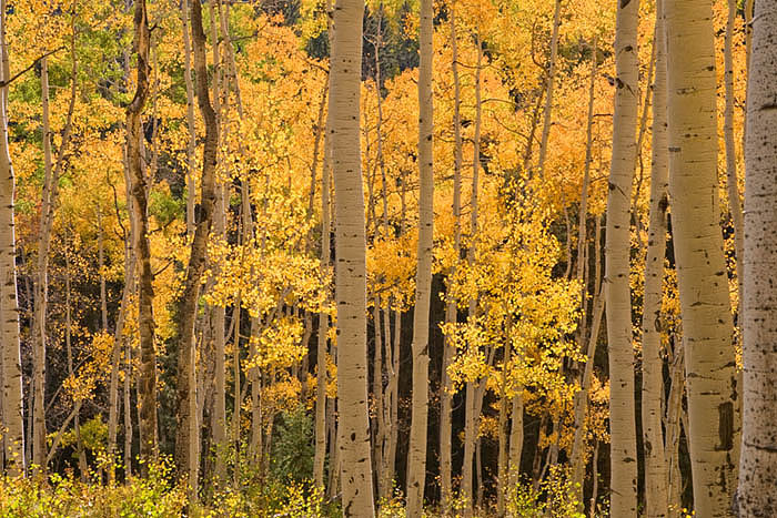 A forest of aspens along County Road 5 near Ridgway, Colorado
