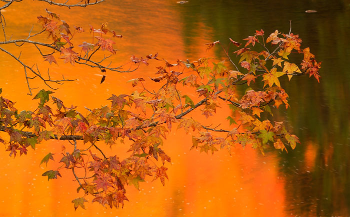 Maple leaves against reflections on the Mulberry River