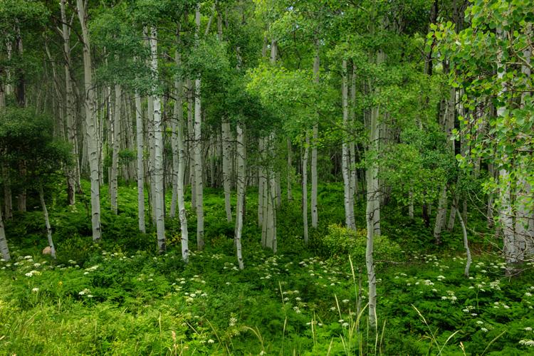 Summer Aspens and Ferns