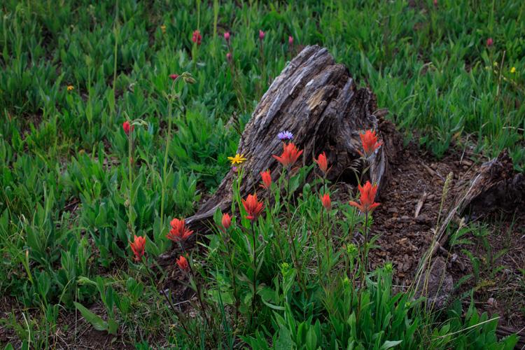 Stump and Wildflowers