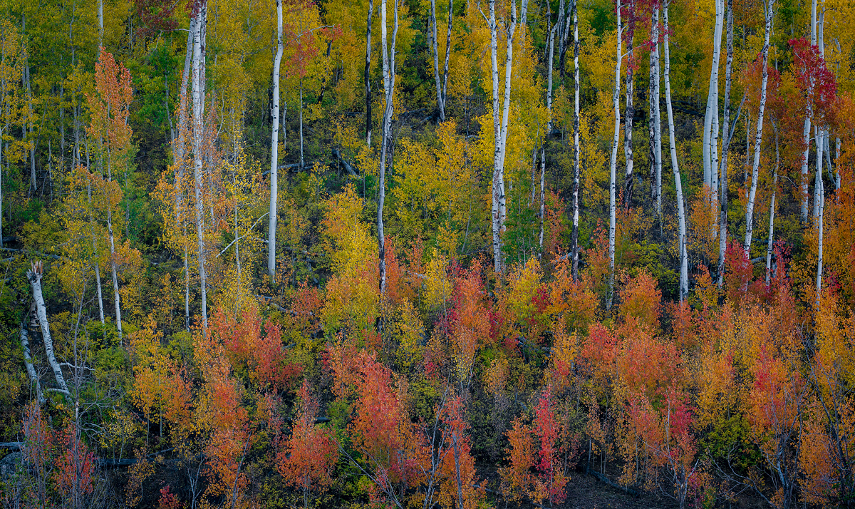 Red and Yellow Aspens