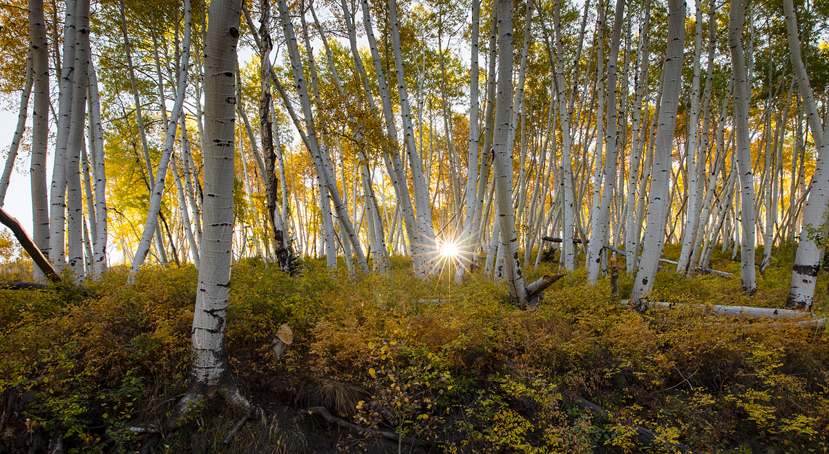 Sunrise Through the Aspens